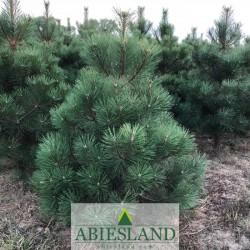 Austrian Black Pine 80-100 cm